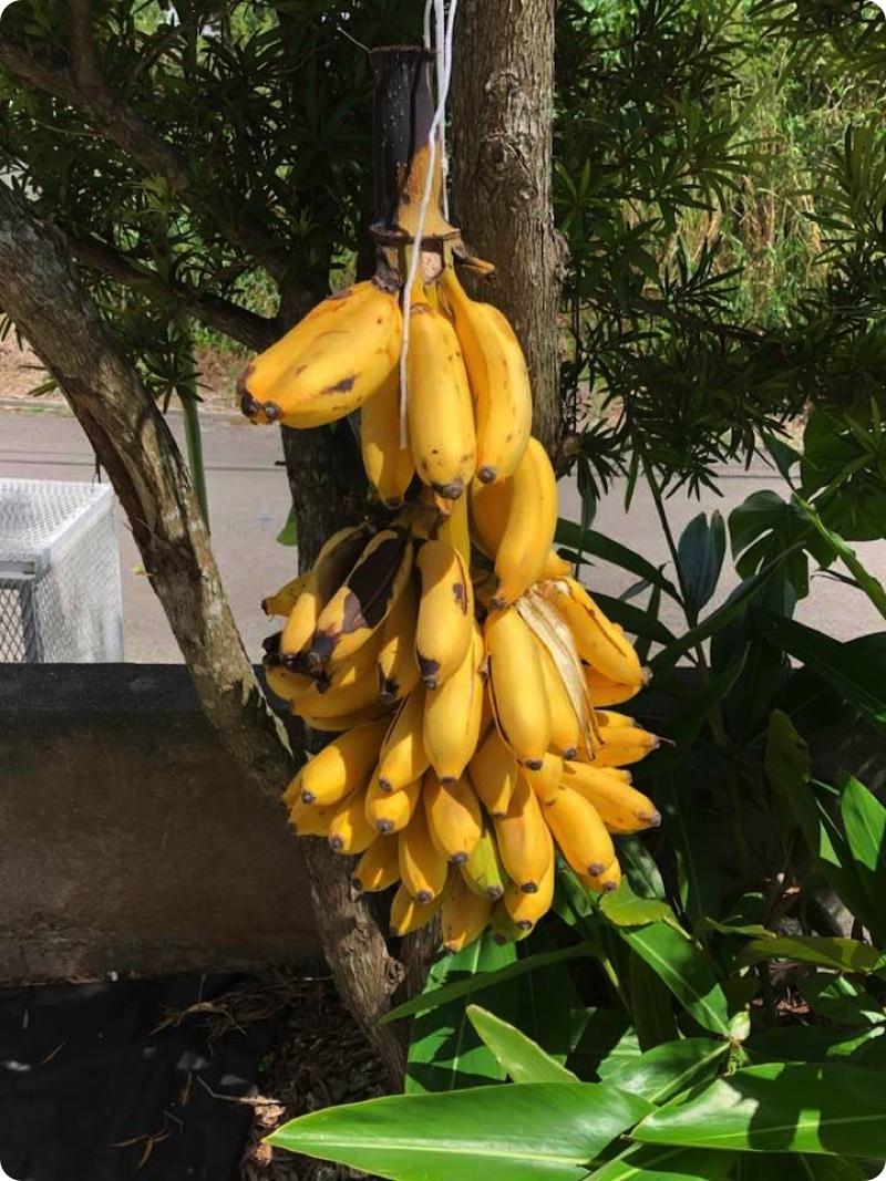 バナナまた収穫