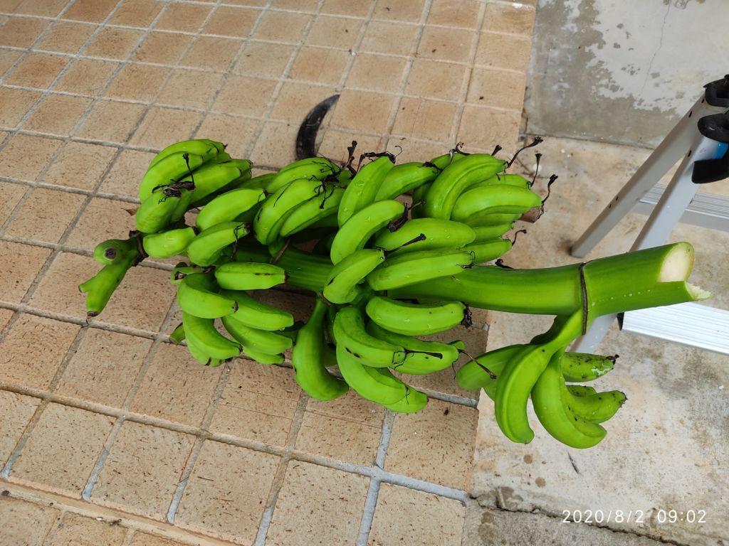 台風前にバナナ伐採